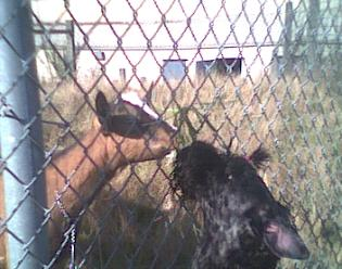 Aran greeting a goat on the walk-2001